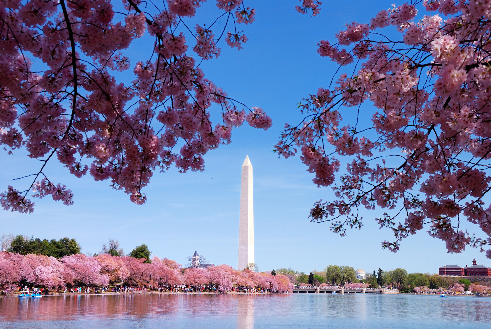 Image result for Cherry Blossom in DC Photos